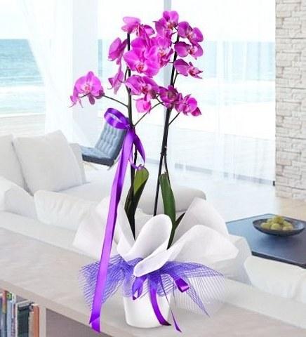 2 Dallı İthal Lila Orkide